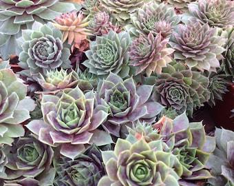 Succulent plant, Sempervivum Atroviolaceum, Hens and Chicks beautiful specimen.