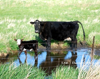 Nebraska Hefer Mother Cow with Calf in Water.  Reflections in Water.  Scenic Landscape Photography.