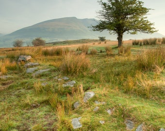 Morning light on a tree and Blencathra, Lake District