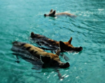 Giant Pigs Swimming In The Azure Waters Of The Exumas, Bahamas, Caribbean