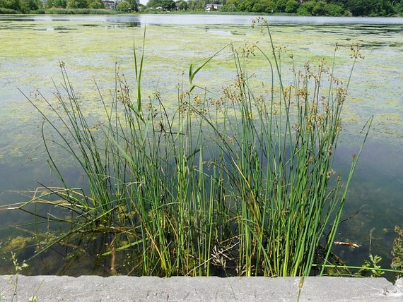 Lot of 2 clumps soft rush koi pond bog water garden plants for Winter pond plants