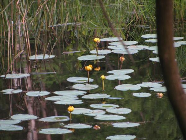 3 yellow spatterdock lily koi pond bog water garden live for Koi zone pond aquatics