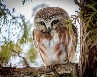 Saw-whet owl prints, owl art, bird prints, nature, photography, owl, wildlife, bird, saw whet, prints, owl cards, art