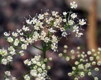 Anise herbs organic seeds 1.50 gr 690-700 seeds