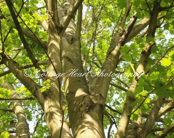 Up in the Trees - Fine Art Nature Photography, Flower, Trees, Nature, Home Decor