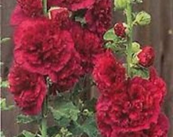 Red Double Hollyhock  Flower Seeds / Alcea / Perennial  30+