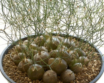 Schizobasis Intricata * African Succulent * Fresh 5 Seeds Very Rare *