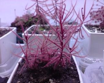 Drosera Hartmeyerorum ~ Very Rare Carnivorous Sundew Plant ~ 5 seeds ~ Limited