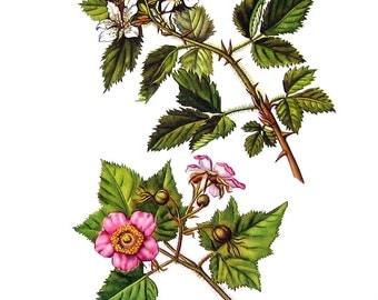 Blackberry, Flowering Raspberry Flowers - Botanical Print - 1954 Vintage Book Page - 11 x 8