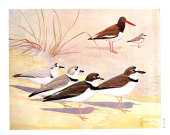 Bird Print - Oyster Catcher, Wilson's Plover, Snowy Plover, Piping Plover - 1954 Book Page - Birds from Florida - 10 x 7