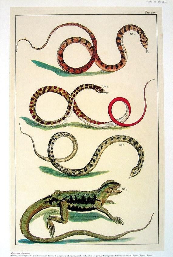 Snakes, Serpents, Lizard - Albertus Seba Book Page - Cabinet of Natural Curiosities - 13 x 9