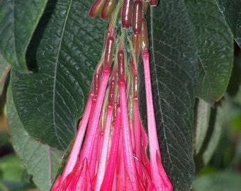 25 Fuchsia Boliviana Seeds (Red Variety)