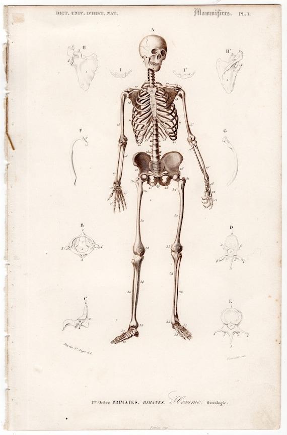 1849 human skeleton original antique anatomy engraving print