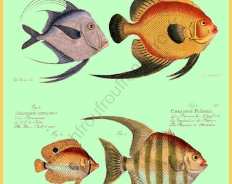 antique french illustration butterfly fish DIGITAL DOWNLOAD