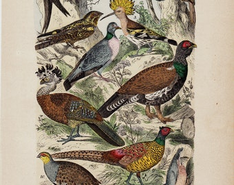 1880 Antique BIRD print, hand colored, Hoopoe, Partridge, swallow, wild pigeo, game birds, original antique
