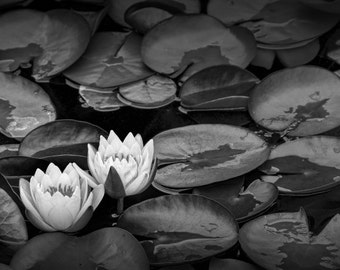 Lily Pads with Summer Blossoms on a Pond in West Michigan No.0201BW A Black and White Fine Art Flower Nature Photograph