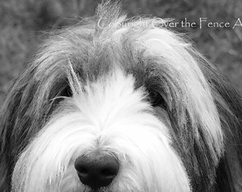 Bearded Collie Card Animal Photography Peek A Boo Dog Photo Black and White Greeting Card