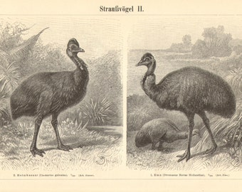 1897 Flightless Birds, Ratites, Ostrich, Emu, Cassowary, Nandu Original Antique Engraving