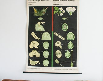 Vintage School Chart, Pinus and Wild Cherry, Botanical Chart