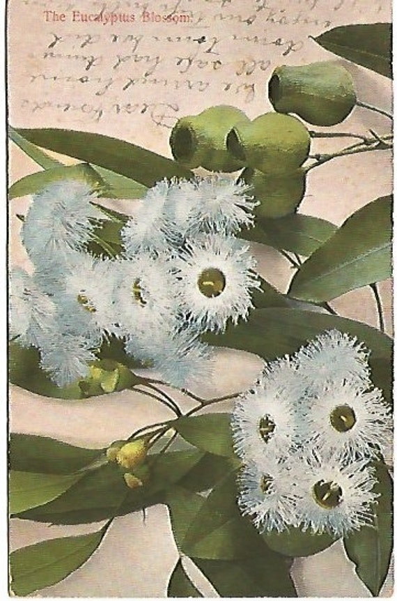 1908  Eucalyptus Blossom Antique Postcard Unique Restriction on Writing on Backside