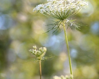 Queen Anne's Lace Flower Print,  Fine Art Photography, Botanical Print, Wildflower, Woodland Nature Print, Floral Wall Art