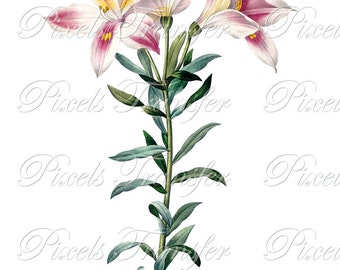LILIES wedding clipart, Instant Download, Digital Images, botanical illustration, white pink flowers, Redoute 286