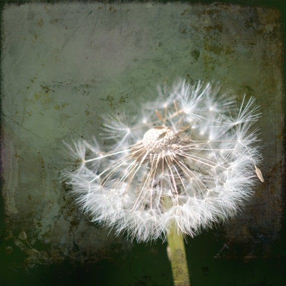 Dandelion with Tuft of Seeds. Flower. Nature Photography. Botanical Print by OneFrameStories.