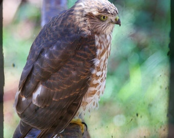 Hawk resting.