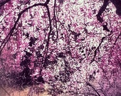 Cherry Pink -Blossoms, Flowering Tree, Japanese Print, Stunning Photography, Tree Branch, Nature Scenery, Beautiful Floral, Spring, Abstract