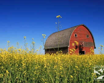 Abandoned Barn in Canola Field - Wildlife Animal Nature Photography from Alberta, Canada