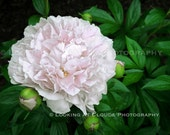 Peony wall art, pink Peony photography, flower photo, flower print, flower garden, pink and green