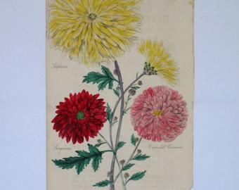 Antique Victorian Botanical Print