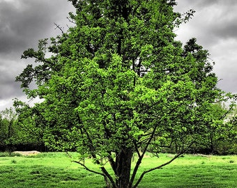 Charity of Your Choice, Spring Tree on a Cloudy Day