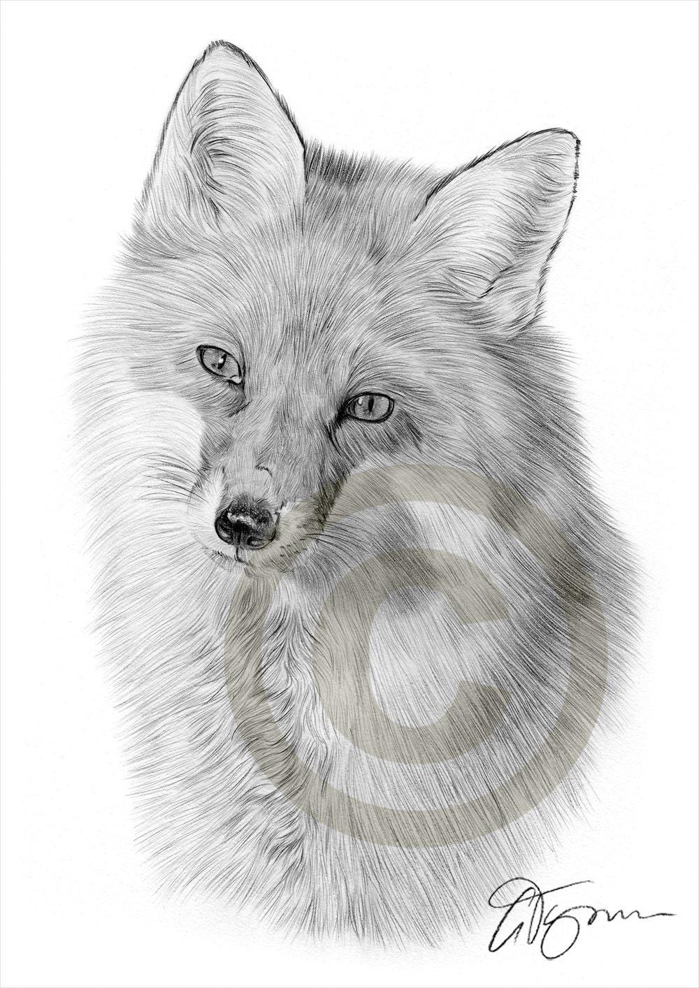 Fox Pencil Drawing Red Fox Pencil Drawing Print