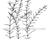 Thermofax Screen - Fern