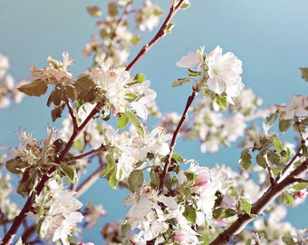 Fine Art Photography Spring Blooms Flowers White Pink Blue Flowering Tree Archival Print