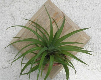 4 Air Plant Display Stands