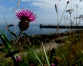 Scottish Thistle, Aberdeen, Scotland... Photo Art... Greetings Card