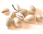 Cowrie Seashells - Green Shade with Yellow Stripe - Pack of 10 Various Sizes