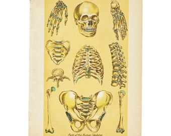 Antique Anatomical Plate of the Skeletal System