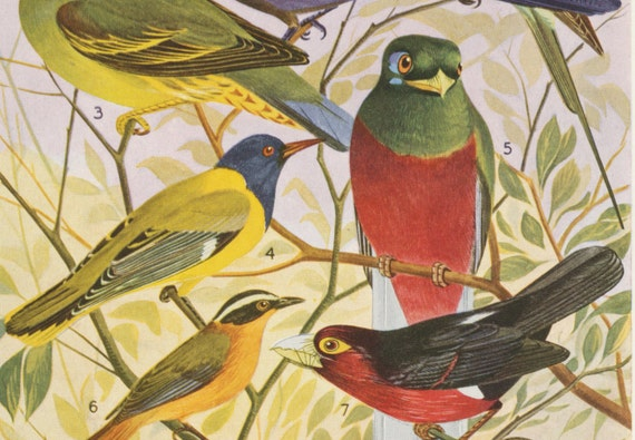 1952 Vintage Print of Birds of the Belgian Congo. No. 1