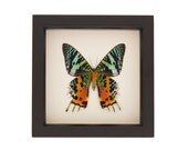 Madagascan Sunset Real Moth Framed Insect Art Urania ripheus
