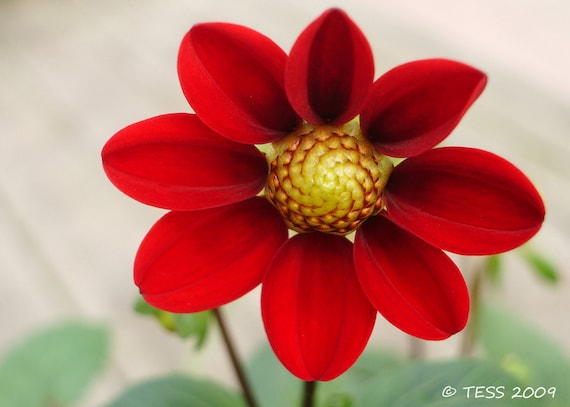 Red Dahlia Photography Print - Botanical - Red Flower Photography - Nature Photography - Mothers Day