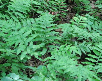 30 chain fern,woodwardia areolata