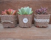 6 Rosette Succulents Wrapped In Burlap, Your Choice Of Twine, Rosette Or Lace, Rustic Wedding, Great Favors, Table Decor, Gifts