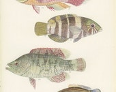 Barred Banded Thicklip, Two Spotted Bumblebee Fish, Vintage Print, 1951, Margaret Smith 61, Ichthyology, Natural History