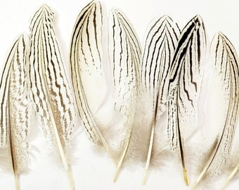 24pcs Silver Pheasant Tail Feathers, select grade, zebra, stripes, exotic feathers. Magnificent 5-6 inches tall!