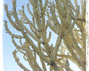 cactus...cardiff by the sea, ca. - digital print