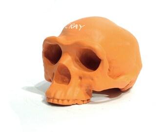 Homo erectus chalkboard skull