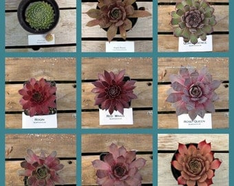 Sempervivum, Choose your Succulent, Winter Hardy Hens and chicks, #OS5